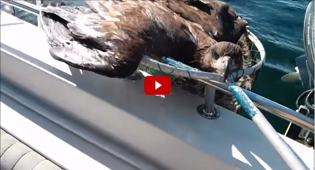 Video: Angler Rescues Exhausted Bald Eagle