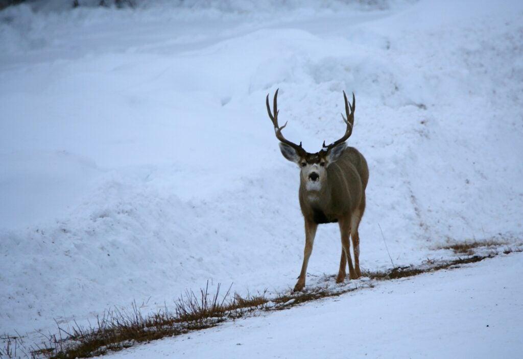 winter mule deer