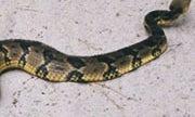 NJ Man Tries to Help Rattlesnake Across Road, Gets Bitten