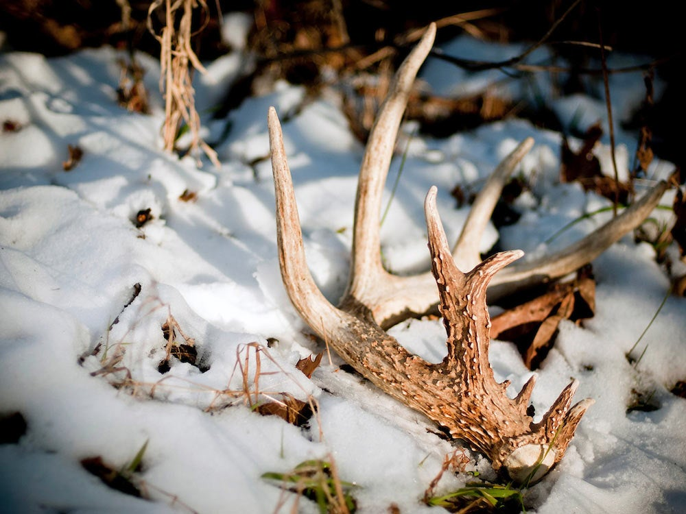 shed antler in snow