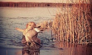 Hunting Dogs: Goose Retrievers