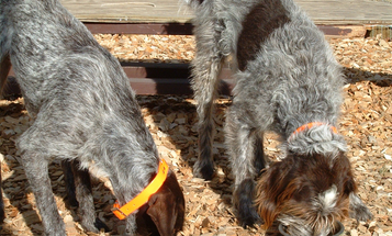 7 Tips for Feeding Your Bird Dog During Hunting Season