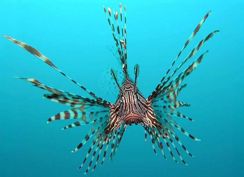 Save the Ocean, Eat a Lionfish