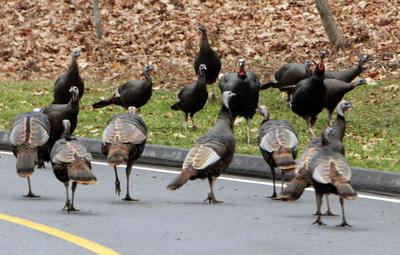 Turkeys invade Colorado suburbs