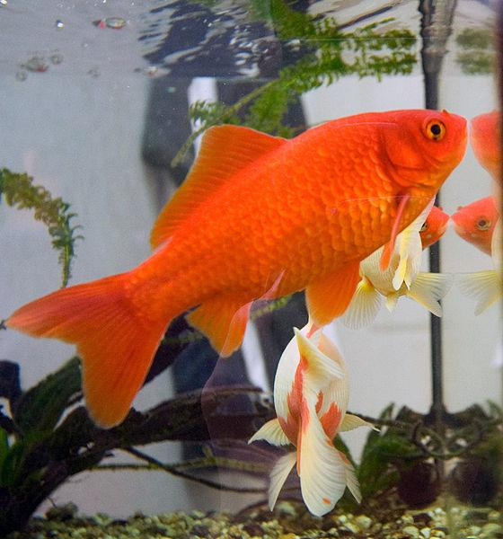 Animal Control and Welfare Commission Pushes to Ban Goldfish in San Francisco