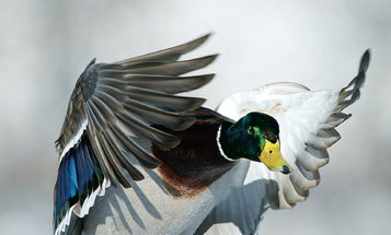 Tips and Tactics: How to Hunt Ducks