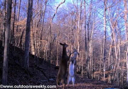 httpswww.outdoorlife.comsitesoutdoorlife.comfilesimport2014importImage2010photo10013215791_ow_fighting_deer.jpg