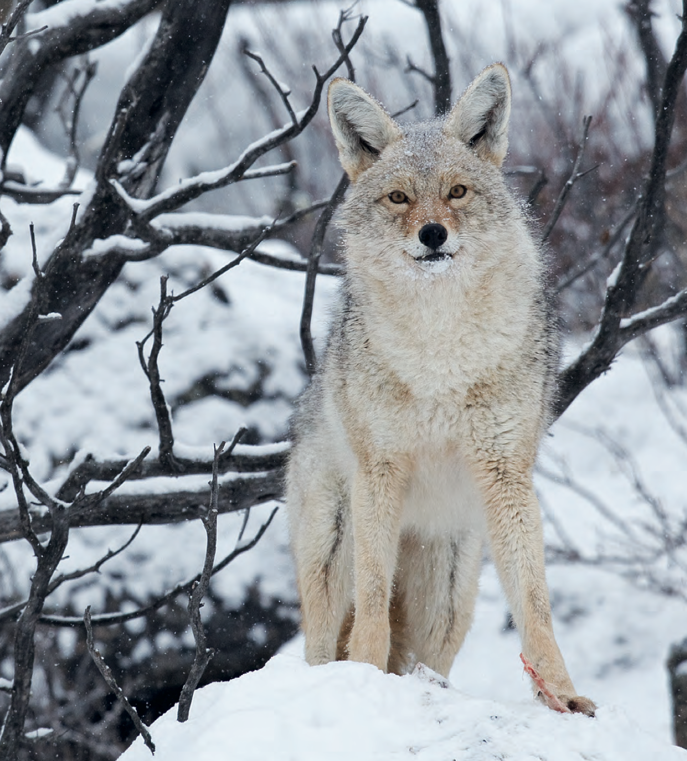 Tips and Tactics: How to Hunt Coyotes and Other Wild Canines