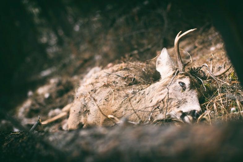mountain lion kill