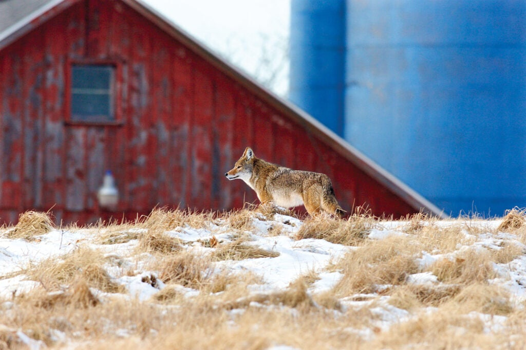 Coyote hunting in farm country