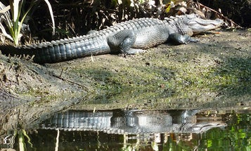 This Florida Alligator Brought to You by the Land & Water Conservation Fund