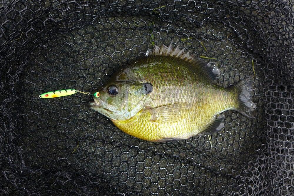 blue gill in fishing net