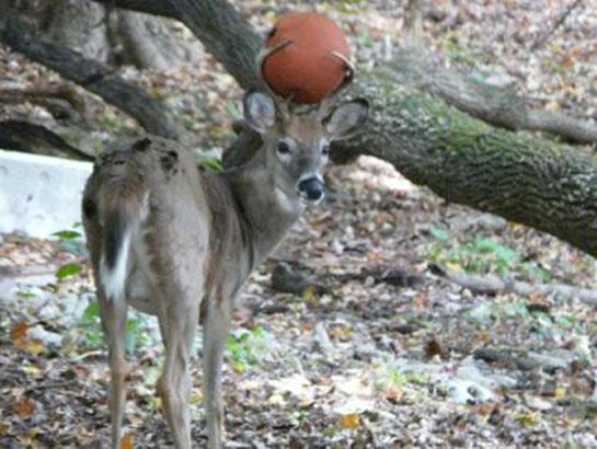 Basket Rack: Pennsylvania Buck Has Basketball Stuck in Antlers