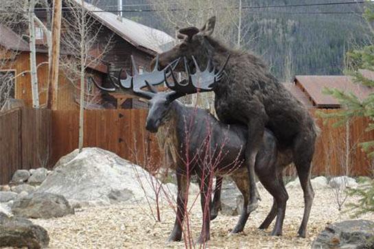 Colorado Moose in Love with Statue