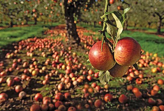 httpswww.outdoorlife.comsitesoutdoorlife.comfilesimport2014importBlogPostembed_apples.jpg