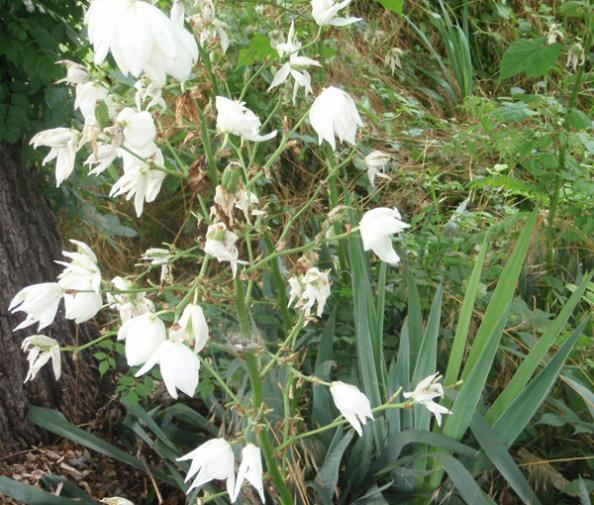 Survival Skills: How to Use Yucca