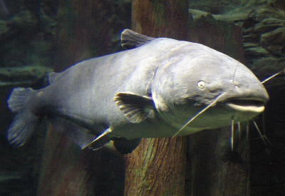httpswww.outdoorlife.comsitesoutdoorlife.comfilesimport2014importImage2008legacyoutdoorlifemcnally_blue_catfish__001_0.jpg