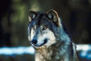 Hunters Harvest 147 Wolves As Minnesota's First Season Ends
