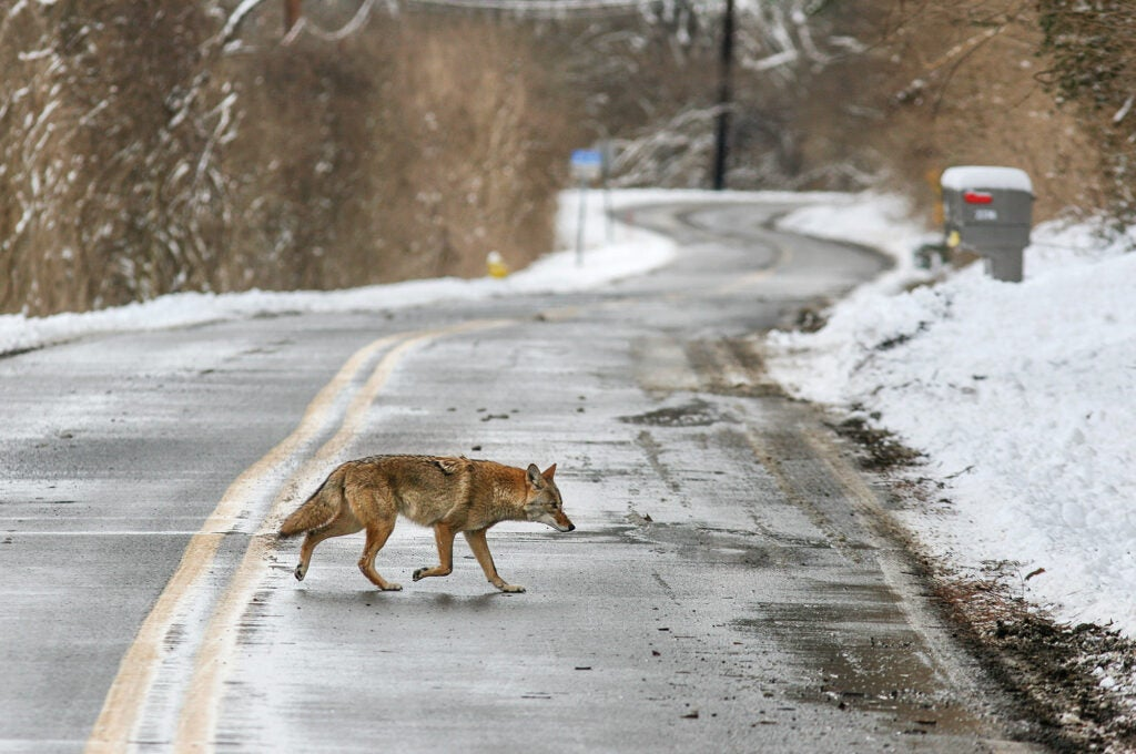 coyotes in the suburbs