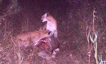 Mountain Lions Feast On Deer Kill