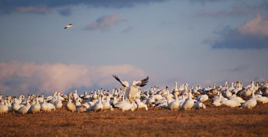 New York and Vermont Extend Snow Goose Hunting Seasons to Slow Booming Population