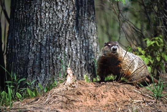 Woodchuck Hunting: Three Tips to Take More Groundhogs