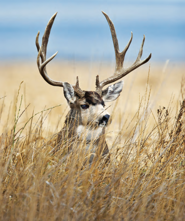 Tips and Tactics: How to Hunt Mule Deer