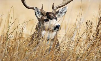 Tips and Tactics: How to Hunt Mule Deer