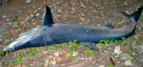 Dead Blue Shark Mysteriously Turns Up in New Hampshire Woods