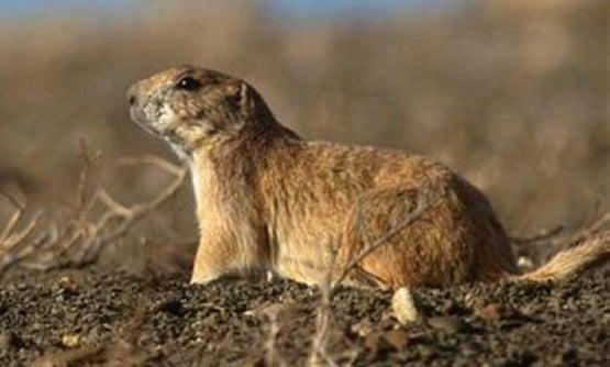 Town in Utah Overrun by Prairie Dog Population