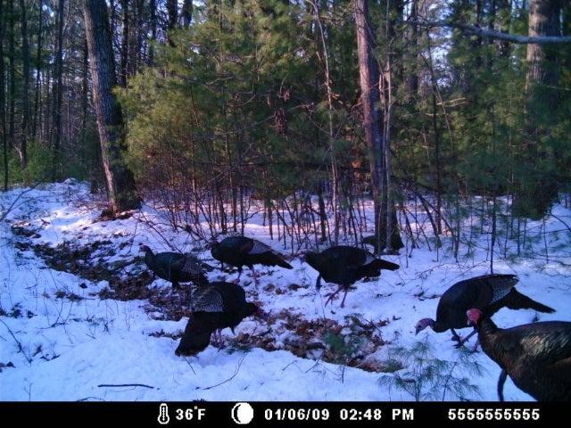 Scout Turkeys Now