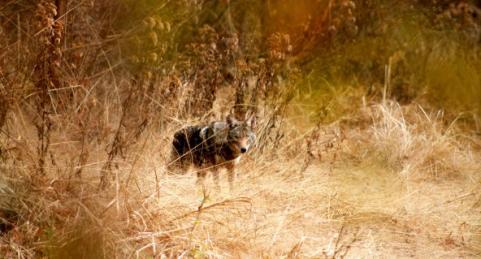 httpswww.outdoorlife.comsitesoutdoorlife.comfilesimport2013images201302bestcoyotes_17_0.jpg