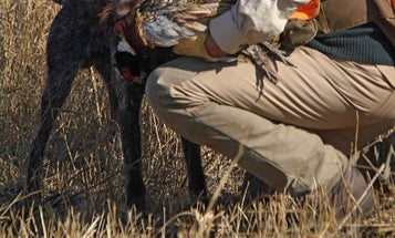 Gun Dog Tips: Let Him Savor (But Not Flavor) the Bird
