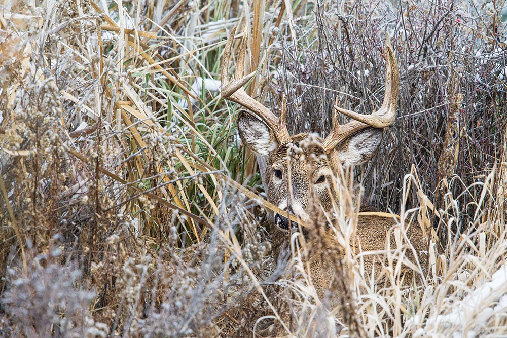 deer hiding in brush