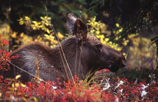 Officials Reduce Moose Hunting in Maine and Alaska to Better Manage Declining Populations