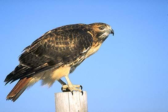 Red-Tailed Hawk Dive Bombs Woman, Knocks Her Unconscious