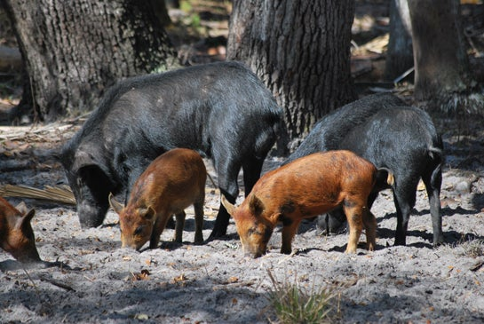 QDMA: Coyotes and Hogs Hitting Deer Herds Hard