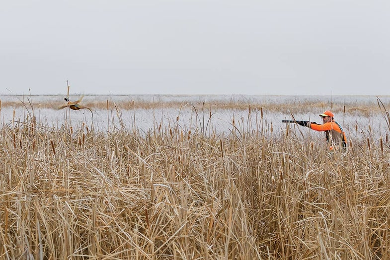 pheasant hunting in cattails
