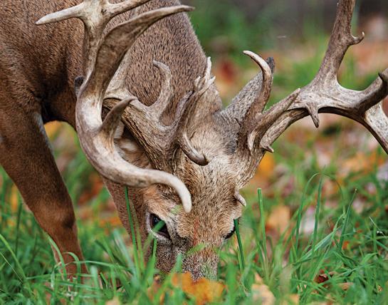 feeding buck