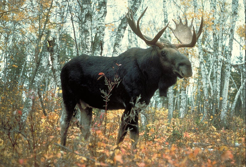 """""""bull"""