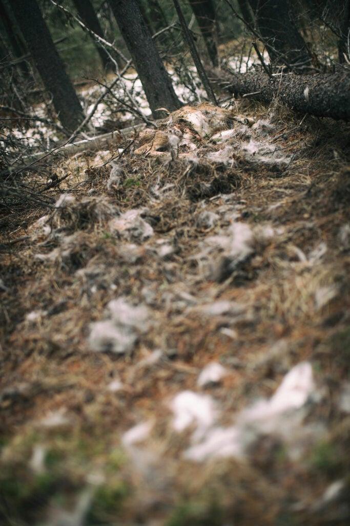 mountain lion kill site