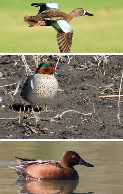 Waterfowl Season 2013: Dreaming of a Teal Slam
