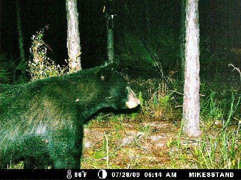 httpswww.outdoorlife.comsitesoutdoorlife.comfilesimport2014importImage2009photo74_bear_at_deer_feeder_0.jpg