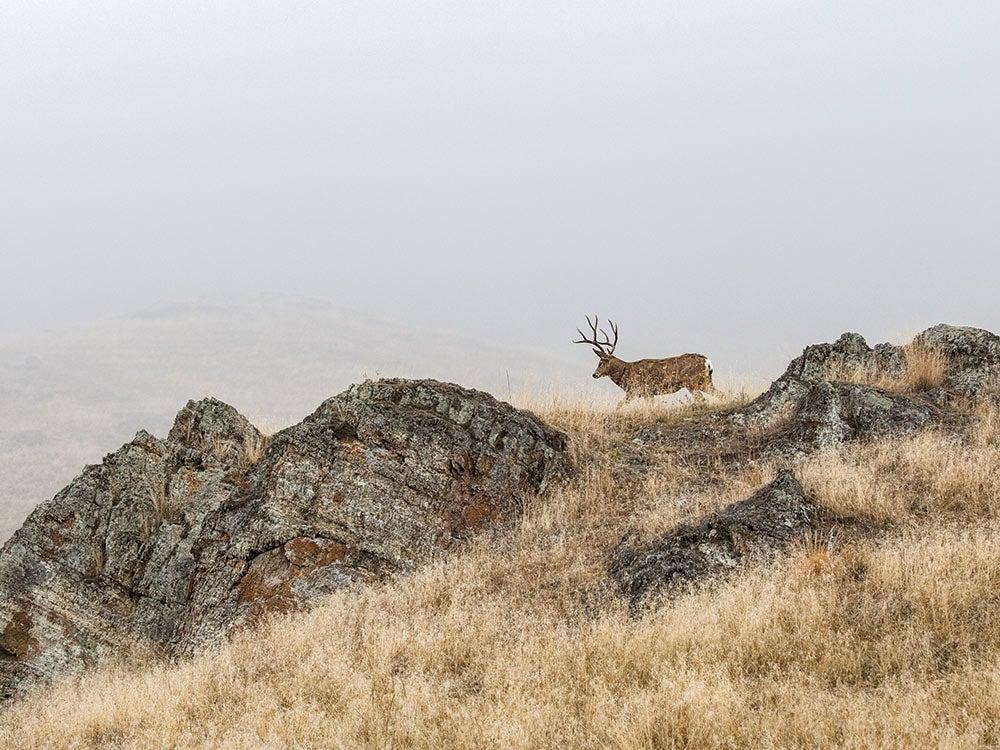 Montana mule deer walks along a ridgeline