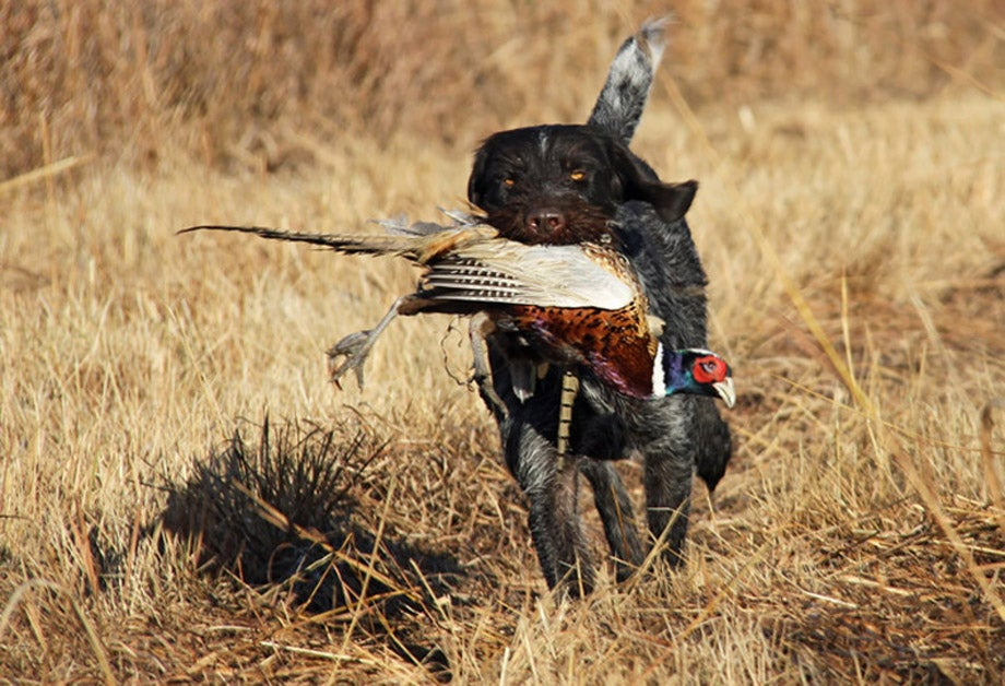 Gun Dog Tips: 4 Alternatives to Force Breaking Your Retriever