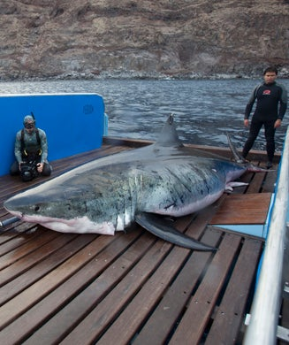Behind-the-Scenes Photos: Record Great White Captured and Released