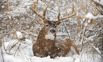 How To Track Deer: Fresh Tracks In The Big Woods