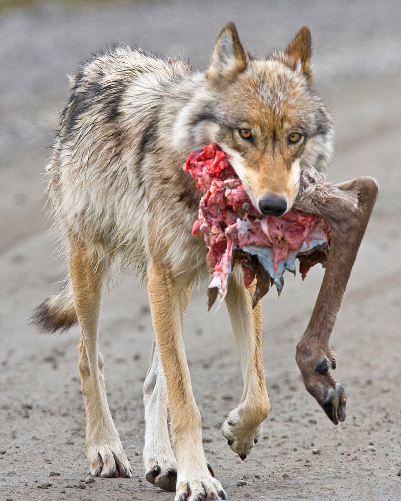wolf with caribou hindquarter