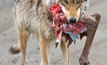 Does Predator Control Really Work? The Science Behind Hunting Coyotes and Other Predators to Protect Game Animals