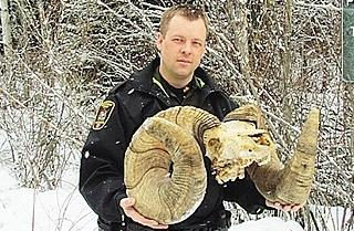 """Record"" Bighorn Ram Loses 4 Inches and Top Spot"